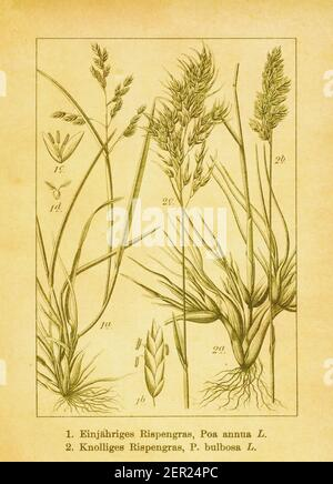 Antique engraving of annual bluegrass and bulbous bluegrass. Illustration by Jacob Sturm (1771-1848) from the book Deutschlands Flora in Abbildungen n - Stock Photo