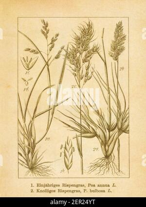 Antique illustration of poa annua (also known as annual bluegrass or annual meadow grass) and poa bulbosa (also known as bulbous bluegrass). Engraved - Stock Photo
