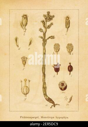 Antique illustration of a monotropa hypopitys, also known as pinesap, dutchman's pipe or yellow bird's-nest. Engraved by Jacob Sturm (1771-1848) and p - Stock Photo