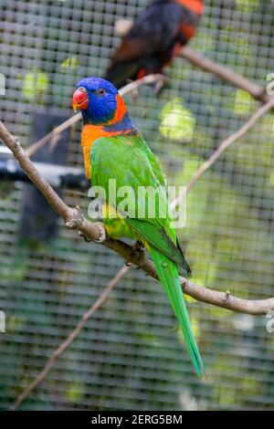 The red-collared lorikeet (Trichoglossus rubritorquis) is a species of parrot found in wooded habitats in northern Australia