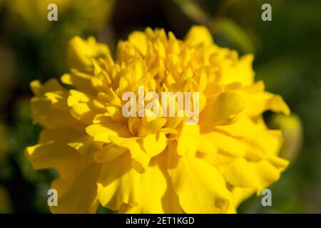 Closeup photo of a marigold flower. Macro photo - Stock Photo