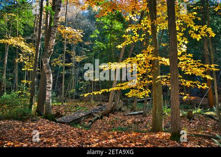 Yellow oak tree leaves in the forest in autumn