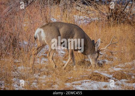 Rocky Mountain Mule deer buck foraging in snow, East Plum Creek, Castle Rock Colorado USA. Photo taken in November