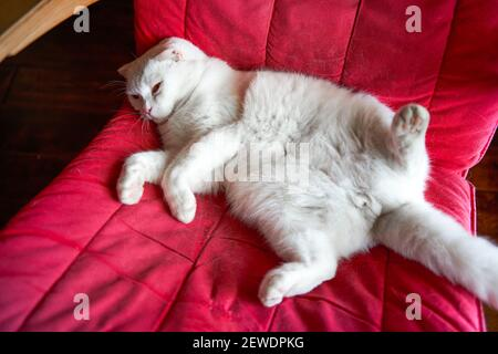 Close-up of a cute pure white british shorthair pet cat