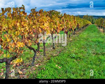 vineyards in autumn near Saint Julien dÕEymet, Dordogne Department, Nouvelle Aquitaine, France.