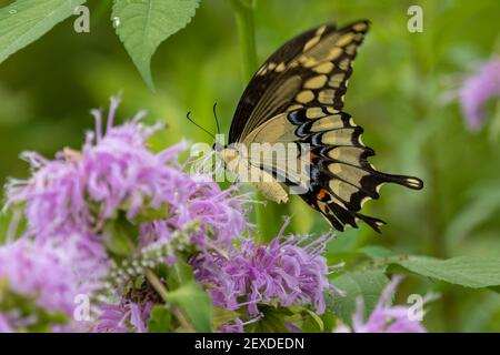 Giant Swallowtail Butterfly, (Papilio cresphontes)