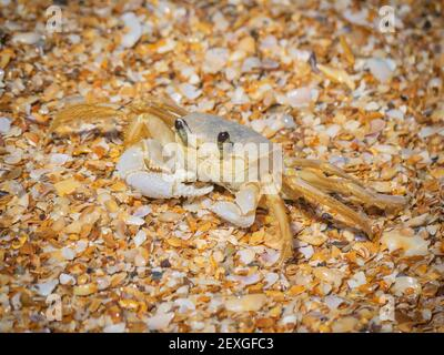Little Ghost crab with sand
