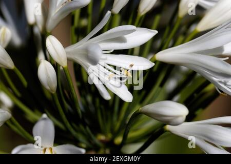 Agapanthus is the only genus in the subfamily Agapanthoideae of the flowering plant family Amaryllidaceae. - Stock Photo