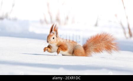 Tamia Sciurus hudsonicus red squirrel on white snow.