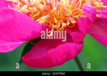 Macro shot of bright magenta Peony Comanche; herbaceous peony (paeony) with spiral-like amber-yellow and magenta staminodes.