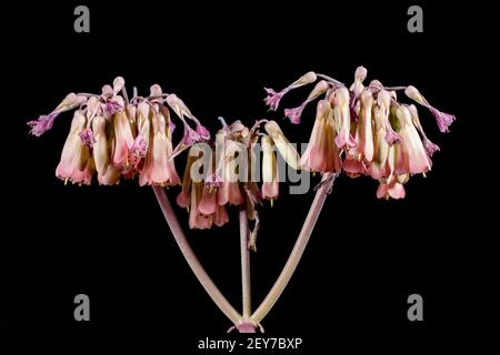Pretty pink flower blooms from mothering plant succulent. Large cluster of flowering succulent blooms. Stock Photo