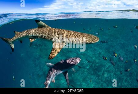Blacktip reef shark, Carcharhinus melanopterus, just below the surface off the island of Yap, Micronesia.  Below, a grey reef shark, Carcharhinus ambl - Stock Photo