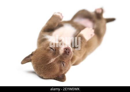 Sleeping on back Chihuahua puppy on white isolated background. Little cute white brown dog breed.