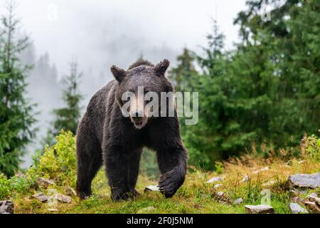 Wild adult Brown Bear (Ursus Arctos) in the mountain summer forest