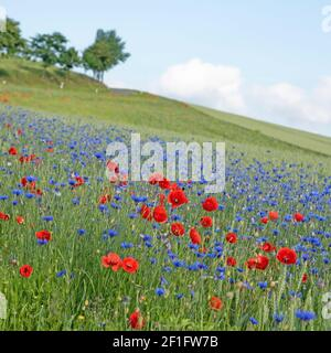 Wildflowers on the edge of the field in summer Stock Photo