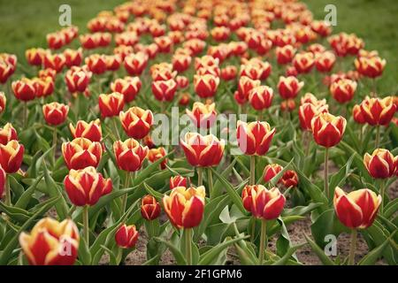Wow. Landscape of Netherlands tulips. Spring season travel. Colorful spring tulip field. multicolored vibrant flowers. beauty of nature. enjoy seasonal blossom. Multi-colored flowers in field.