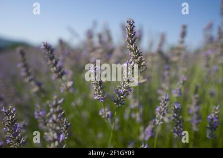 Farm and rows of scented flowers in the lavender fields of the French Provence near Valensole - Travel through France - Cote d'Azur - Provence