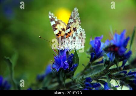 Painted Lady (Vanessa cardui) on blue Vipers Bugloss (Echium vulgare). - Stock Photo