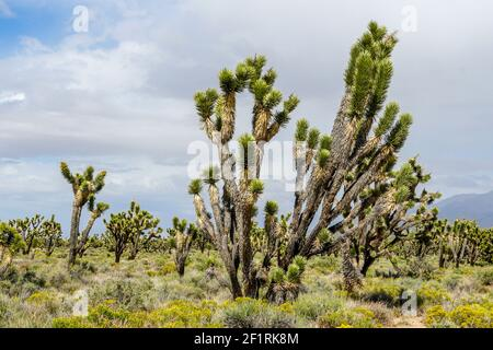 Joshua Tree National Park. American desert national park in southeastern California. Stock Photo