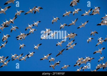 Large flock of Snow Geese at Middle Creek Wildlife Management Area Reserve in Lancaster County, Pennsylvania, USA - Stock Photo
