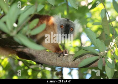 Female Black Lemur (Eulemur macaco), Nosy Be, Madagascar