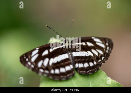 close up and macro photo of Neptis sappho (common glider) butterfly in garden perched on a plant leaf