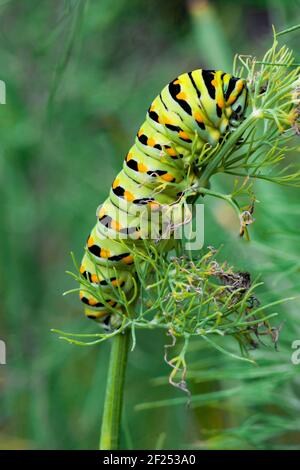A Black Swallowtail Larva feeding on dill in a home garden in eastern Pennsylvania.