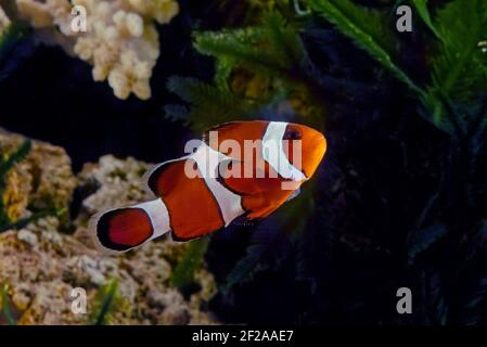 The ocellaris clownfish (Amphiprion ocellaris), also known as the false percula clownfish or common clownfish, is a marine fish belonging to the famil