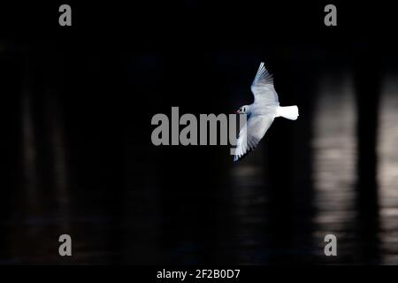 An adult Black headed gull in winter plumage in flight - Stock Photo