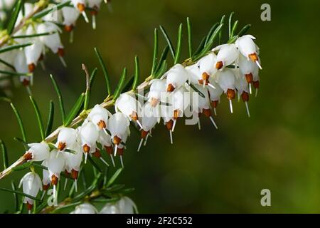 Winter heath, Winter Flowering Heather or Spring heath (Erica carnea) flowering in the end of the winter. Close up. White flowers. Bergen, Netherlands