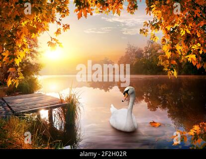 White graceful swan on autumn river in forest