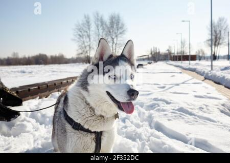 Husky dog sitting in the snow and waiting for play. Siberian husky with blue eyes on winter field. Portrait of nice dog.