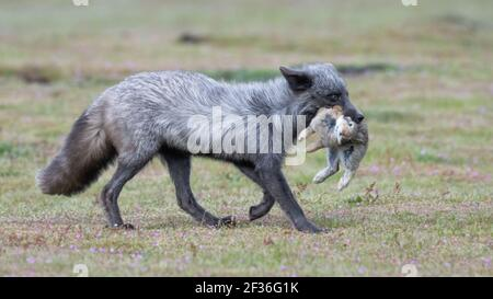 Adult fox returns from hunting with a rabbit in their mouth at American Camp in the San Juan Islands of Western Washington