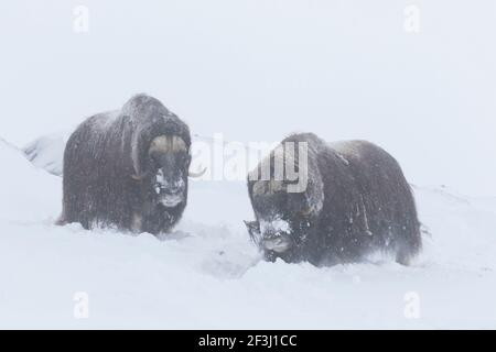Muskox (Ovibus moschatus). Two bills foraging in snow. Dovre Fjaell, Sunndalsfjella National Park, Norway - Stock Photo