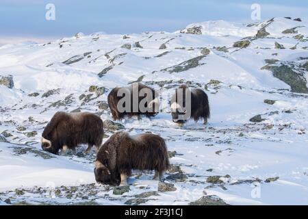 Muskox (Ovibus moschatus). Four adults foraging in snow. Dovre Fjaell, Sunndalsfjella National Park, Norway - Stock Photo