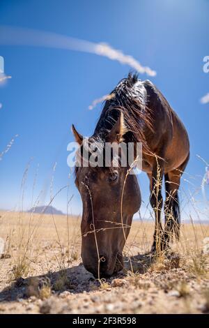 A Wild horse of Garub, near the namib desert in namibia - Stock Photo