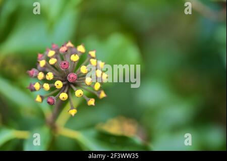 Beautiful macro view of spring green and yellow berries of ivy hedera helix (English ivy) plant clinging and climbing on the fence, Dublin, Ireland