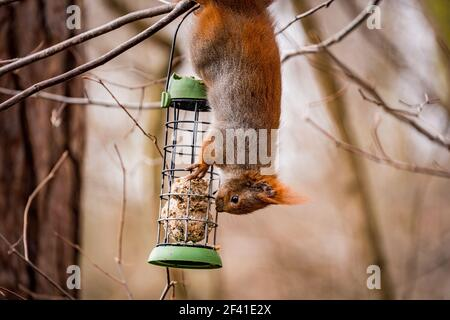 squirrel hanging upside down on a feeder