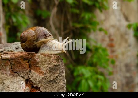 Snail on the bricks of a building. The snail over the cliff looks thoughtfully far away. The concept of inevitability, difficulty of choice, insurmoun