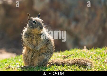 Cute squirrel sitting on grass. Close up portrait of a ground squirrel in city park in sunny day Stock Photo