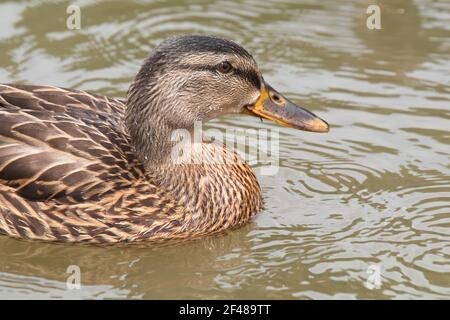 Horizontal close-up portrait of a beautiful female mallard duck swimming on the rippling local pond. Stock Photo
