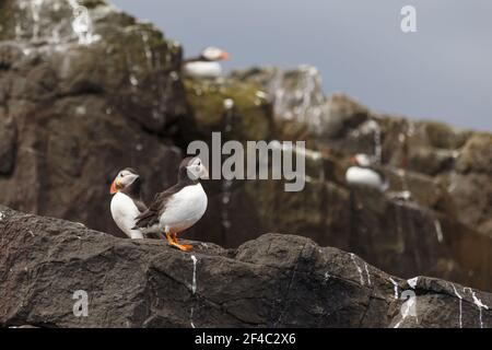 Two Puffins standing on sea cliffs, Northumberland, England