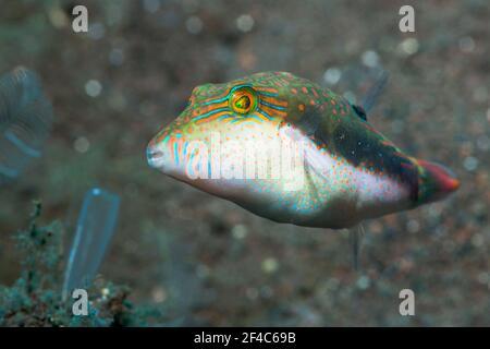 Bennett's toby [Canthigaster bennetti].  Tulamben, Bali, Indonesia.