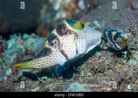 Valentini's sharp nosed puffer or Black-saddled toby [Canthigaster valentini] courting pair.  Tulamben, Bali, Indonesia.