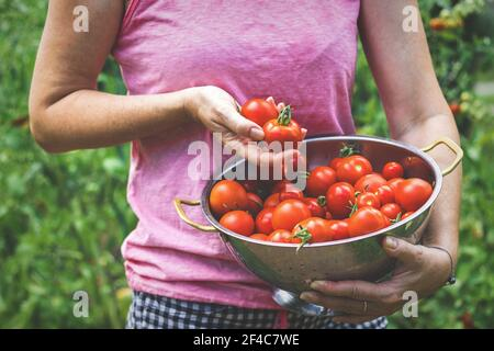 Woman with fresh harvested organic tomatoes. Harvesting homegrown produce from vegetable garden. Stock Photo