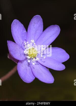 Blue anemone Hepatica nobilis Liverwort on dark background