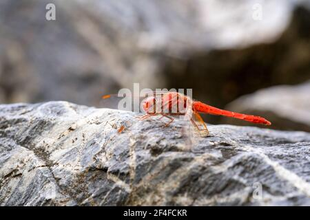 Side view shot of a red dragon fly sitting on a rock
