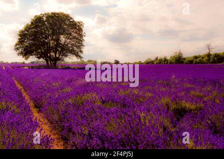 Summer landscape, blooming lavender flower and beautiful countryside nature concept theme with a tree in the middle of an empty field in the warm ligh