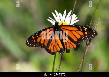 Bright orange Monarch butterfly on a daisy wildflower