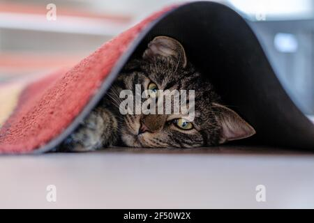 a gray tabby house cat hides under a carpet and looks at the camera Stock Photo
